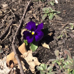 Out of the frozen soil!  At least this pansy thinks it's spring!
