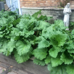 The rhubarb is ready - already???  Guess it loves that spot!