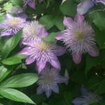 Clematis blooms!