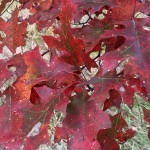 How can you not like the reds and greens of the fall oak leaves?!?