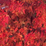 Maple bushes glowing with fall reds!